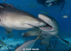 These Lemon Sharks Were Competing Over Who Got To Be In T... by Matt Heath